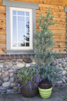 Monrovia's Icee Blue® Yellow-Wood details and information. Learn more about Monrovia plants and best practices for best possible plant performance. Evergreen Trees, Trees And Shrubs, Blue Yellow, Blue Grey, Monrovia Plants, Plant Catalogs, Wood Detail, Yard Design, Garden Trees
