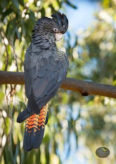 Thanks to Julie Fletcher Photography. Australian Photography, Wildlife Photography, Animal Photography, Reptiles, Mammals, Australian Parrots, Animals And Pets, Cute Animals, Kangaroo Island
