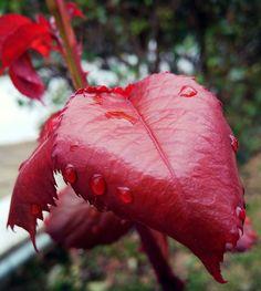 Cardinal red leaf after rain