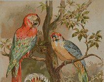 Eine Gruppe von Papageien und Kakadus. Vögel.  Naturgeschichte.  Alte Abbildung 124 Jahre alt. 1890 Blatt. 23 x 31'5 cm.