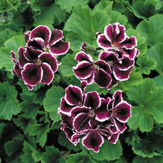 Geranium 'Empress of Russia'  This is what I want - thank you Cindy for finding them online.  Now I can order them!