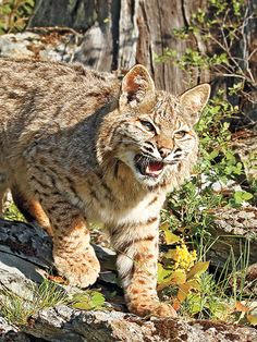 Gats for Cats: The Best Guns for Bobcat Hunting - Shooting Times
