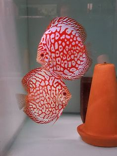 Photo gallery of Discus fish - Live Tropical Fish - Live Tropical Fish Discus Aquarium, Discus Fish, Saltwater Aquarium, Betta Fish, Discus Tank, Aquarium Setup, Tropical Freshwater Fish, Tropical Fish Tanks, Freshwater Aquarium