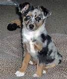 Adopt an Australian Shepherd | Dog Breeds | Petfinder