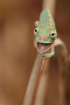Super happy chameleon.