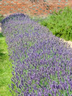 The gardening experts at HGTV.com show how to create a lavender hedge to attract bees and butterflies to your garden.