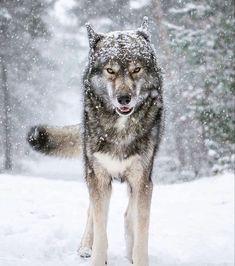 Winter Cabin, Husky, Wolf, Wildlife, Instagram, Ninja, Snow, You Are Awesome, Animales