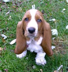 Basset Hound: If Michael got me a basset puppy he would come home to dinner made each night and a clean house no doubt, just look at the cuddly little guy!!!!