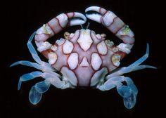 """Lissocarcinus laevis, """"Harlequin Crab"""""""