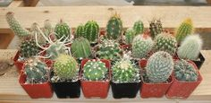 "Great opportunity to become a cactus collector with 20 unique cacti in their plastic square 2"" containers. TheSucculentSource"