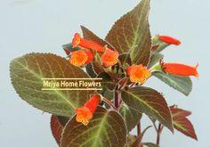 Kohleria Brazil Gem Orange Flowers, Colorful Flowers, Orange Color, October Flowers, Home Flowers, Houseplants, Perennials, Brazil, Gems