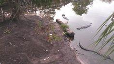 Alligator and Spoonbill live cam - St. Augustine, Florida   Explore.org