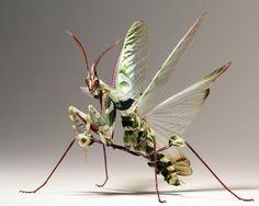 Idolomantis Diabolica preparing it's Wings for Flight.  Image: Scott Cromwell.