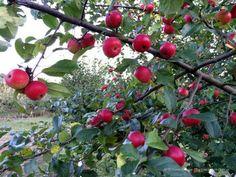 """Alte Obstsorten - Alte Apfelsorten -  Zierapfel """"Schwerdtfegers Zierapfel"""" - robuste Zierapfelsorte"""