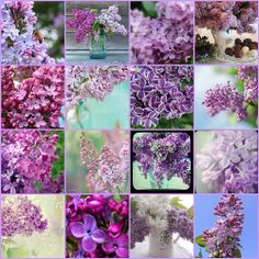 Lilacs...could there be a more perfect flower?  My favorite flowering bush of all time, plus they smell delish!!