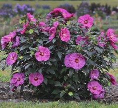 Proven Winners - Summerific® 'Berry Awesome' - Rose Mallow - Hibiscus hybrid pink lavender pink plant details, information and resources. Hibiscus Bush, Deer Resistant Plants, Plants, Hardy Hibiscus, Hibiscus Flowers, Hibiscus, Perennials, Plants Around Pool, Deer Resistant Perennials