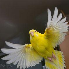 Beautiful yellow Budgie in flight. ラピス(@_blbrd_)さん | Twitter