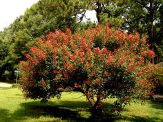 coral tree plant - Yahoo Search Results