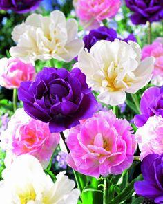 "Tulpen Mischung ""Double Beauty"" | Flickr - Photo Sharing!"
