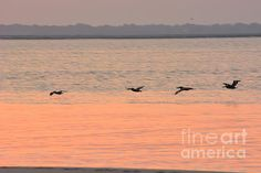 Pelicans At Sunset - Jekyll Island - Photograph by Katherine W Morse