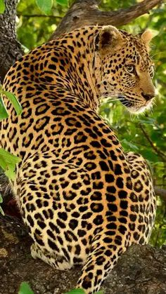 Beautiful Leopard ever watchful.