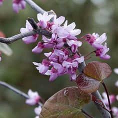 Cercis canadensis 'Forest Pansy' Forest Pansy Redbud - Parkview ...