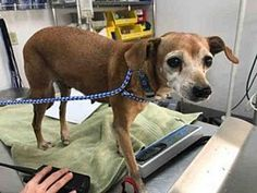 Chihuahua Mix Dog for adoption in Austin, Texas - *CATALINA