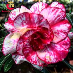Rosas do Deserto - Divinópolis - Minas Gerais - Brasil
