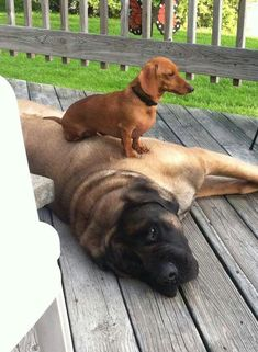 #Mastiff and dachshund