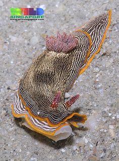Sea Slug - Chromodoris lineolata <3