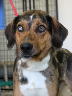 Available for adoption. 2 year old Australian Shepherd mix named Dodge. www.jfcountypets.com