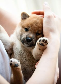 Shiba Inu puppy. This is exactly what one of my Shiba's looked like looked like when she was a puppy. The other one was lighter. Great dogs♥ #shibapuppy
