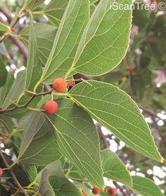 Celtis africana – Witstinkhout / White Stinkwood | iScanTree