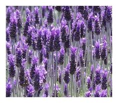 Amazon.com : Lavandula dentata  French Lavender  20 Seeds : Garden & Outdoor