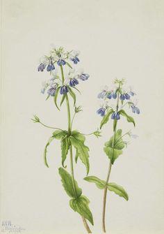 Blue-Eyed Mary (Collinsia verna) by Mary Vaux Walcott / American Art