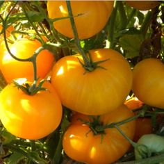 1000 Images About 2015 Heirloom Tomatoes On Pinterest 640 x 480