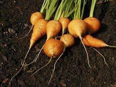 Conseils pour la sélection de légumes pour le potager et compagnonnage - jardins botanique de montreal
