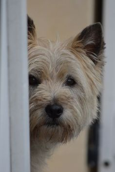 cairn terrier: this breed sheds!