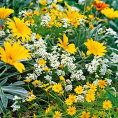 Create Cheer with Yellow Flowers. Yellow is an invigorating color and can be used with great effect in the garden. Its boldness catches the eye -- and it feels happy. This picture-perfect pairing features 'Talent Yellow' gazania, Dahlberg daisy, and white sweet alyssum.  Growing Conditions: Full sun and well-drained soil.