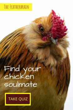 Every chicken keeper has a chicken soulmate! If you're a beginner to raising backyard chickens, you'll definitely want these breed tips and ideas. Take this chicken breed quiz to find your perfect backyard flock. Types Of Chickens, Raising Backyard Chickens, Perfect Chicken, Chicken Breeds, Chicken Eggs, Finding Yourself, Pictures, Tips, Animals