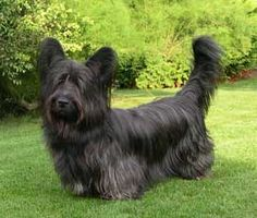 ♥DS♥ 307 Skye Terrier. Looks like my old Murph, Bless his heart. Not fun growing old whether you are a human or a dog.
