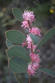 Best Australian native plants for pots and containers – My Ideas Australian Garden Design, Australian Native Garden, Australian Native Flowers, Australian Plants, Drought Tolerant Trees, Australian Wildflowers, Native Australians, Annual Plants, Ornamental Grasses