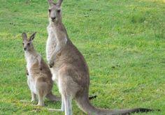 Kängurus sind mit rund 60 Arten die bekanntesten Tiere Australiens.