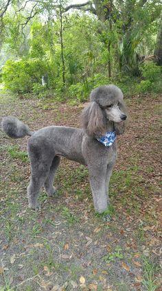 Beautiful grey standard poodel
