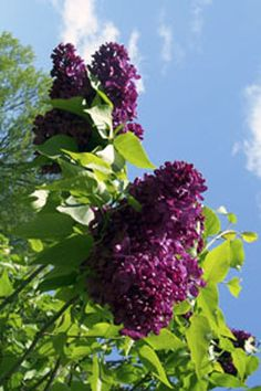 In preparation for lilac season and Rochester's Lilac Festival, Doc Lilac shares tips to make your cut lilacs last longer.