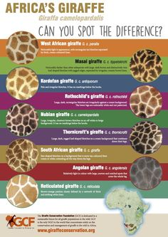 Poster: Giraffe coat patterns - Can you spot the difference? West African Giraffe, African Animals, Animal Facts, My Animal, Giraffe Facts, Facts About Giraffes, Giraffe Quotes, Giraffe Print, Baby Animals