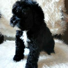 Rebecca is a very well balanced girl. She loves playing outside and resting on couch with her person. She is very quick to respond to changes in her environment.Rebecca can be transported by ground or air to your location. Cutest Puppy Ever, Portuguese Water Dog, Cute Puppies, Doggies, The Outsiders, Environment, Couch, Animals, Little Puppies