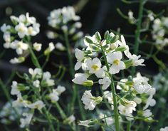 """Allowing brassicas like broccoli, kale, arugula, tatsoi, and pak choi to""""bolt,"""" or send up a flower stalk, is a good way to attract beneficial insects to your garden."""