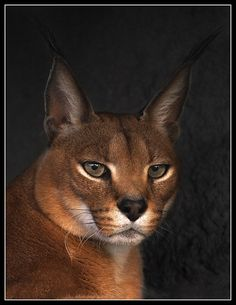 Portrait of a red cat   caracal  By Mask-m on Animal Photos.  The Ultimate Cat Photograph!  Judith, The Lioness