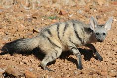 Aardwolf, African mammal, looks like a slender yellow-grey hyena lives on insects
